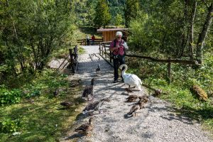 Grünau, Cumberland Wildpark, Graugänse