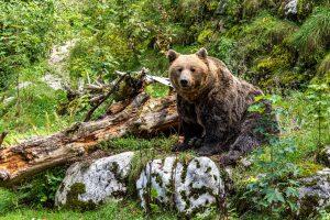 Grünau, Cumberland Wildpark, Braunbär