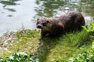 Grünau, Cumberland Wildpark, Fischotter