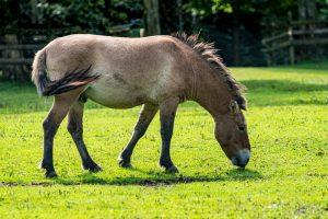Grünau, Cumberland Wildpark, Przewalski-Pferd